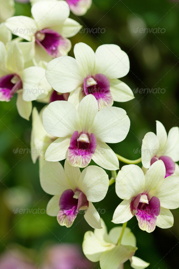 Closeup of orchids - Stock Photo - Images
