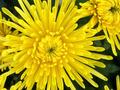Blossoming Chrysanthemum - PhotoDune Item for Sale