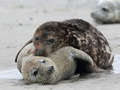 Grey Seals (Halichoerus grypus) - PhotoDune Item for Sale