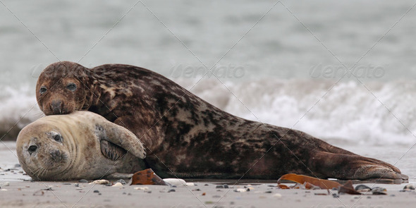 Grey Seals (Halichoerus grypus) - Stock Photo - Images