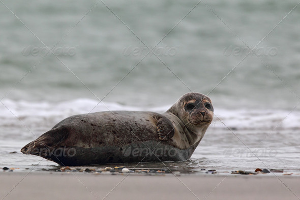 Harbor Seal (Phoca vitulina) - Stock Photo - Images