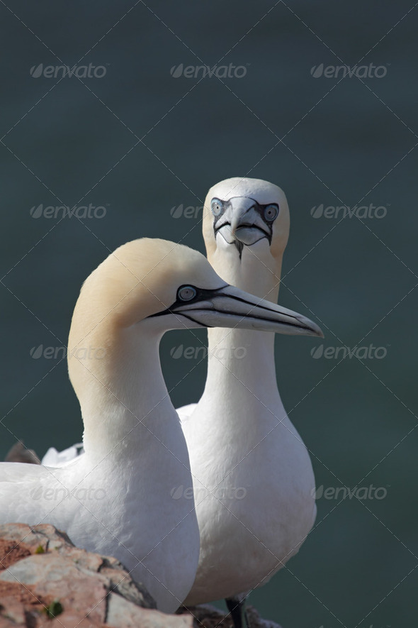 Northern Gannets (Morus bassanus) - Stock Photo - Images
