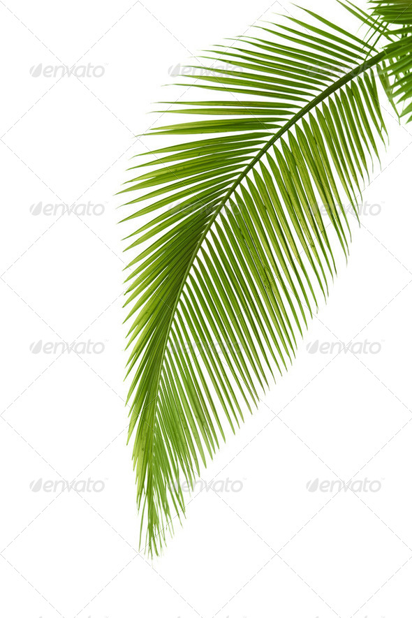 Leaf of palm tree - Stock Photo - Images