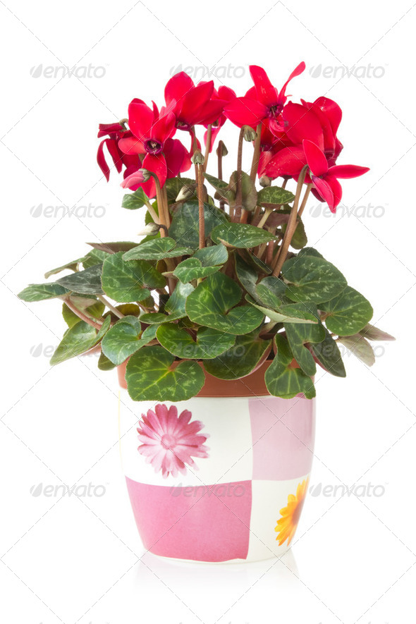 Red Cyclamen Flower In Pot - Stock Photo - Images