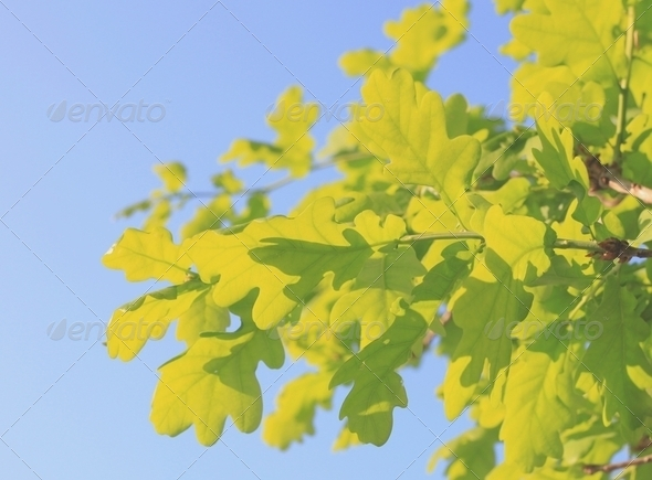 New Oak Leaves - Stock Photo - Images
