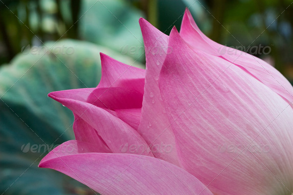 Pink Lotus - Stock Photo - Images