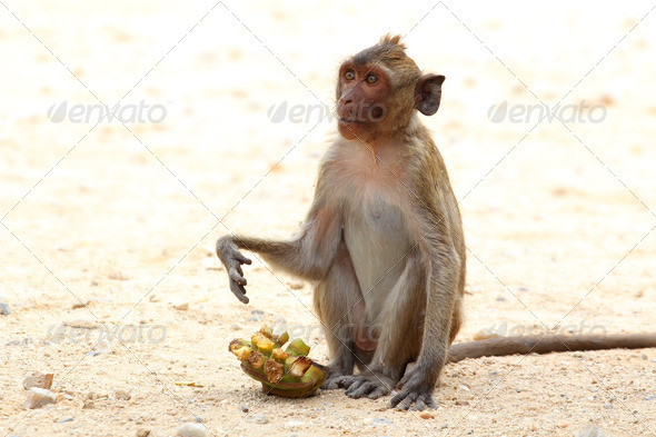 Crab-eating macaque monkey of southeast asia sitting on sand waiting for banana - Stock Photo - Images