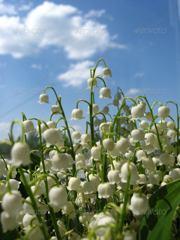 Beautiful flowers of a lily of the valley - Stock Photo - Images