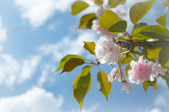 Cherry Flowers - Stock Photo - Images