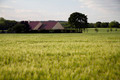 wheat crop field - PhotoDune Item for Sale