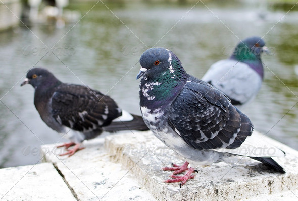 Many pigeons near the park pond. - Stock Photo - Images