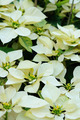 White poinsettia flowers - PhotoDune Item for Sale