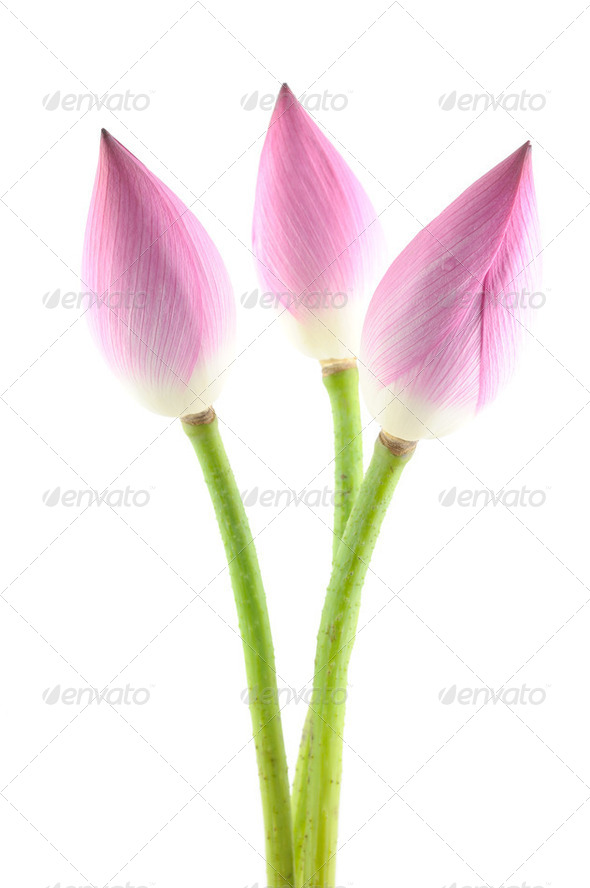 Lotus flowers - Stock Photo - Images