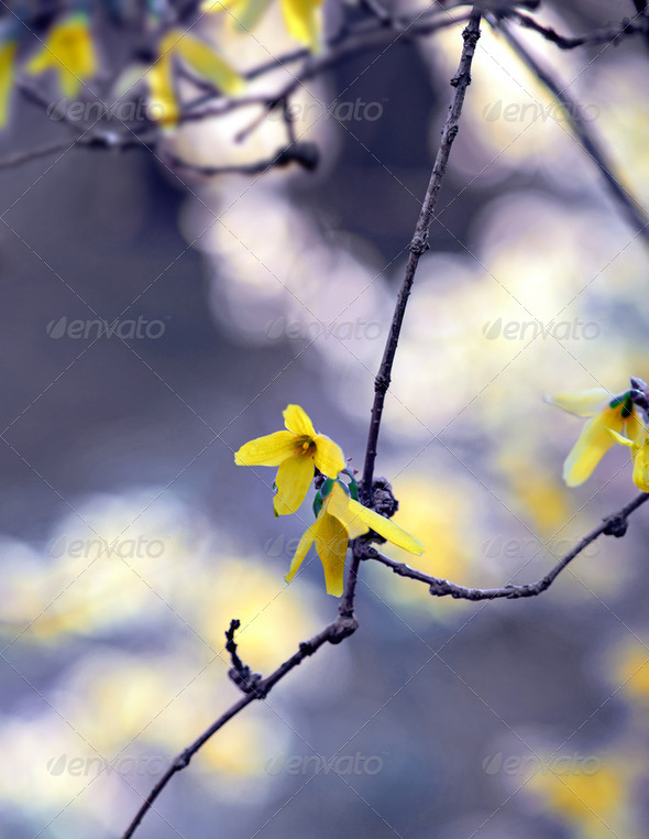 forsythia flowe - Stock Photo - Images