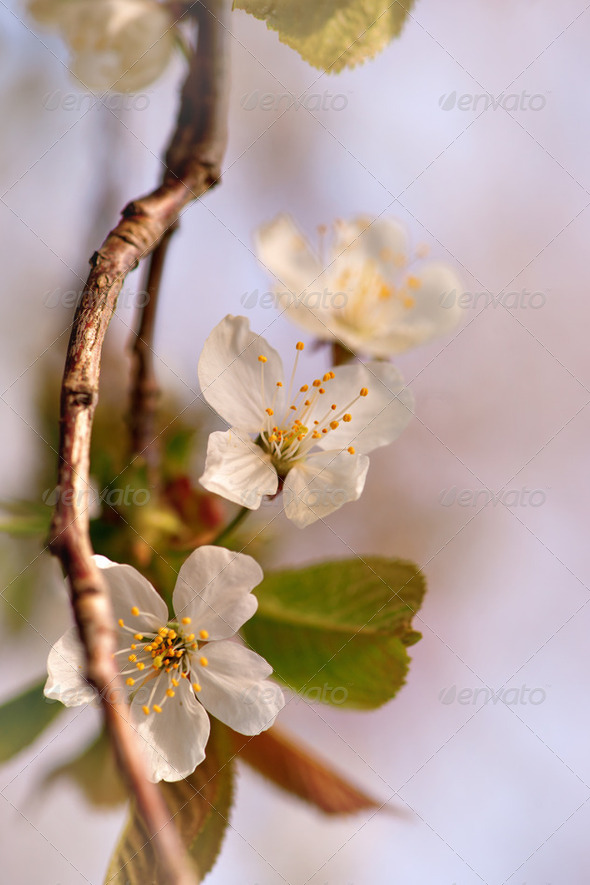 pink cherry flowers - Stock Photo - Images