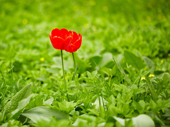 Red tulips, green grass - Stock Photo - Images