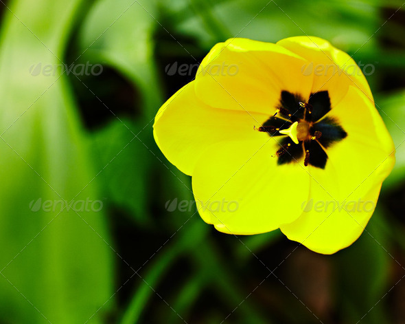 Yellow tulip - Stock Photo - Images