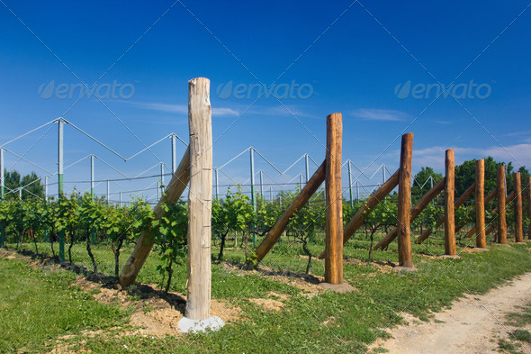 Vineyard under a blue sky - Stock Photo - Images