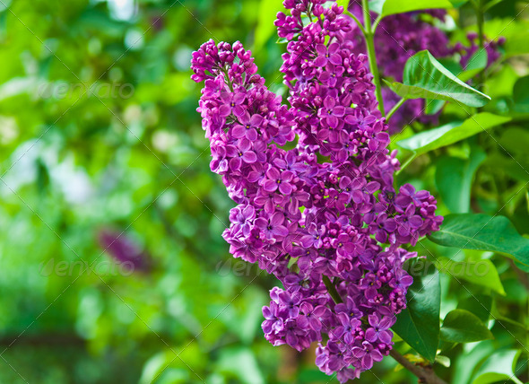 branch of lilac - Stock Photo - Images