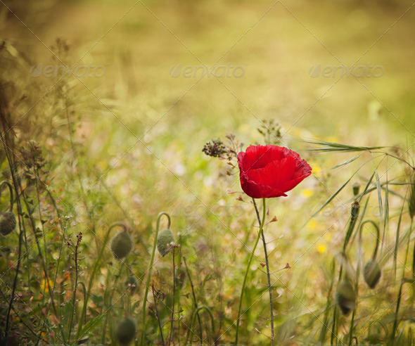 Poppy flower - Stock Photo - Images