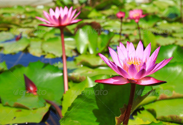 blossom lotus flowers in pond - Stock Photo - Images