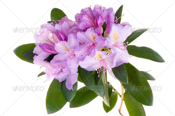 Pink rhododendron, azalea - Stock Photo - Images