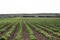 A field of potato crops - PhotoDune Item for Sale