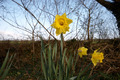 Daffoldil flowers - PhotoDune Item for Sale
