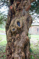 An old and twisted tree trunk - PhotoDune Item for Sale