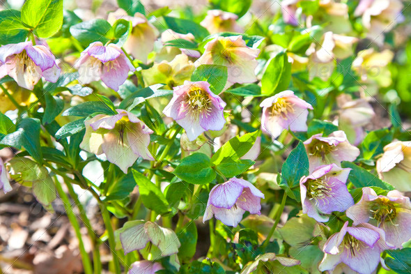 Rare Garden Hellebore - Stock Photo - Images