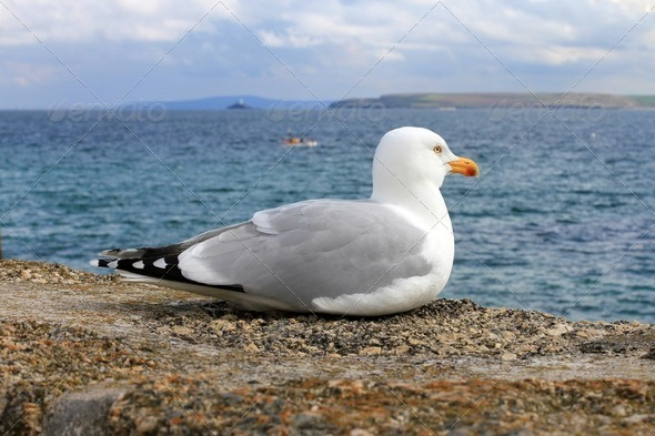 Seagul and Turquoise Sea in St Ives Cornwall - Stock Photo - Images