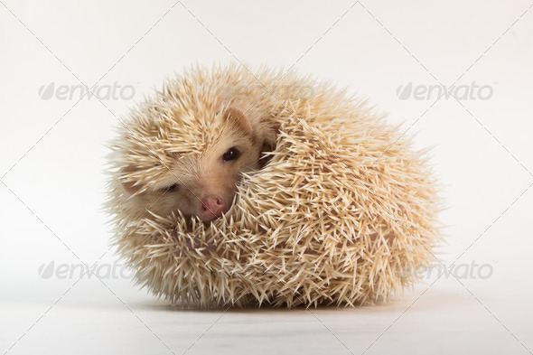 Cute Apricot Hedgehog - Stock Photo - Images