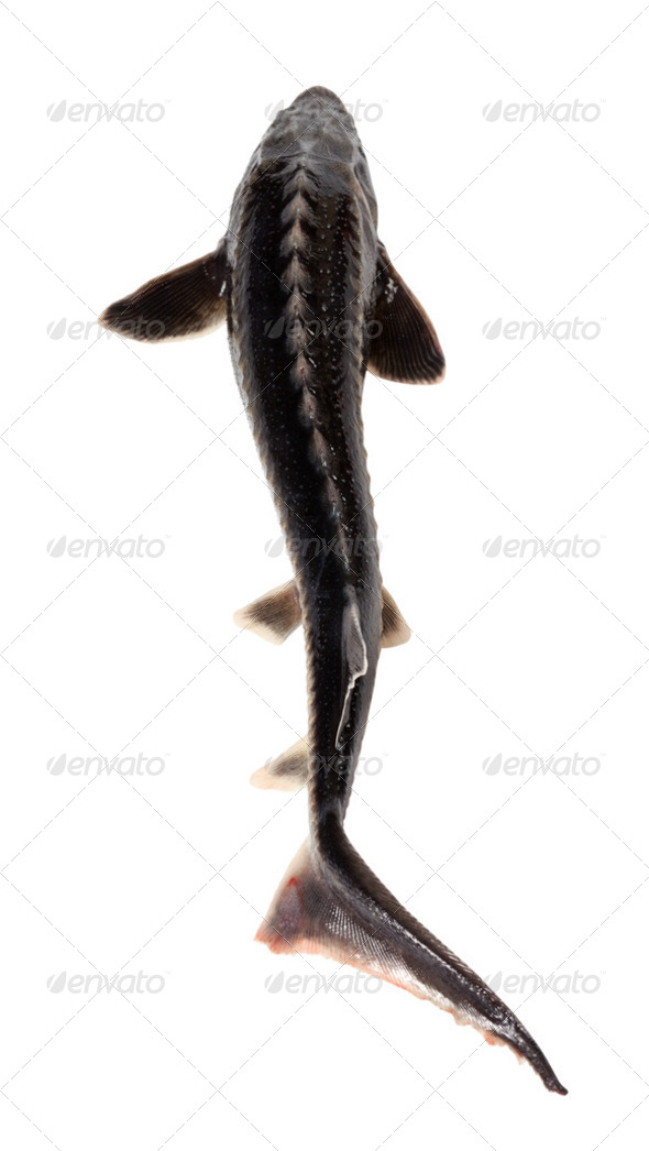 Fresh sterlet fish - Stock Photo - Images