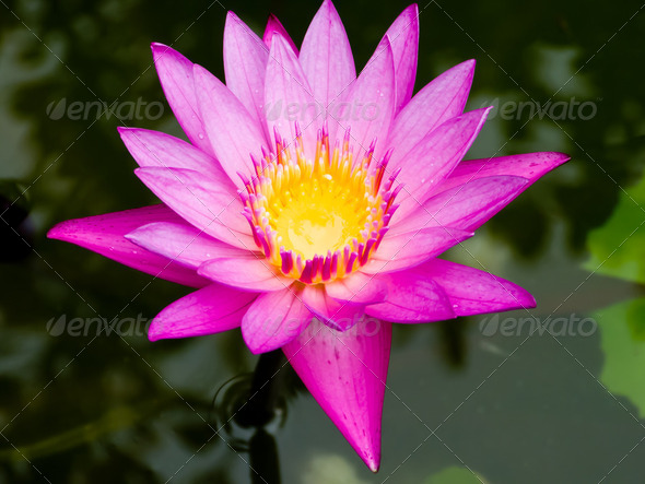 Lotus flower - Stock Photo - Images