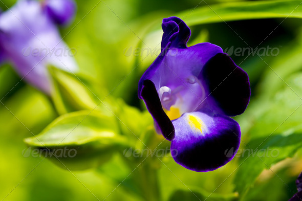 Dark purple wishbone flower - Stock Photo - Images