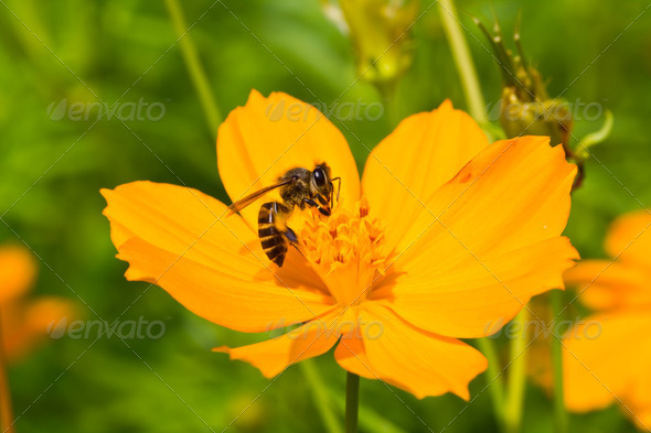 A bee collects nectar from cosmos flower - Stock Photo - Images