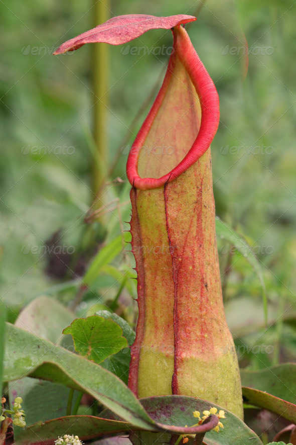 The Nepenthes , carnivorous pitcher plant. - Stock Photo - Images