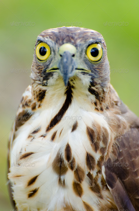 Young Falcon - Stock Photo - Images