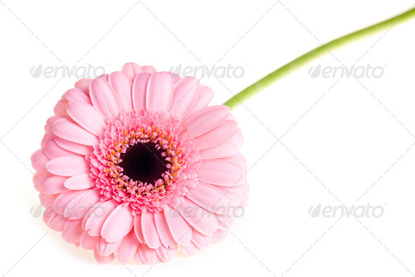 Pink gerbera close up - Stock Photo - Images