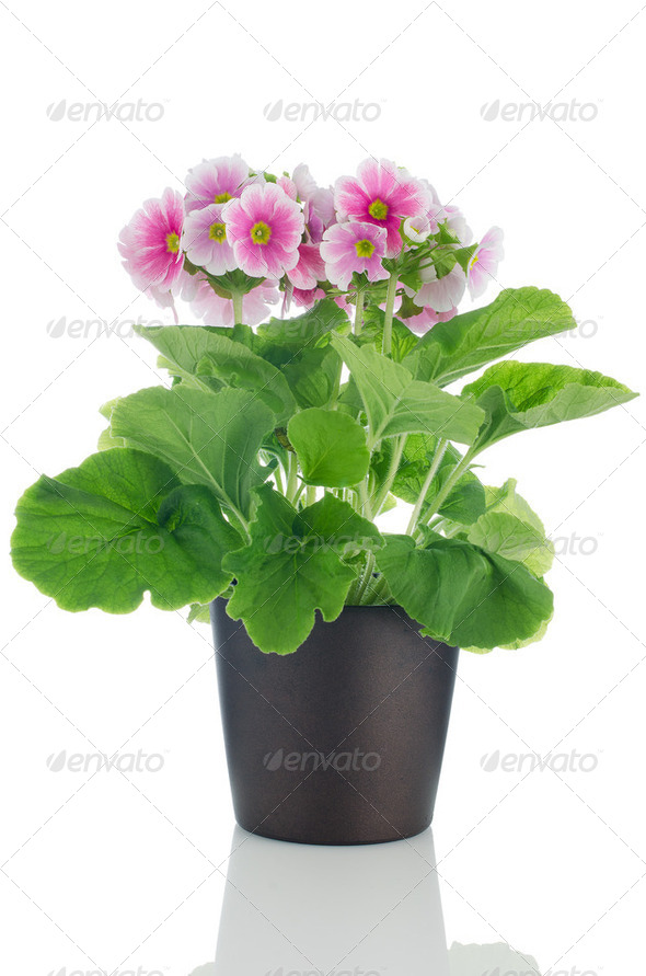 Beautiful pink primrose flowers - Stock Photo - Images