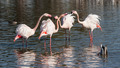 Four Flamingos and two Ducks - PhotoDune Item for Sale