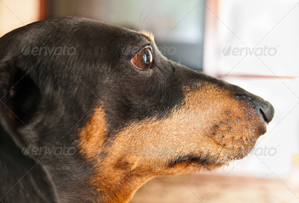 dachshund dog - Stock Photo - Images