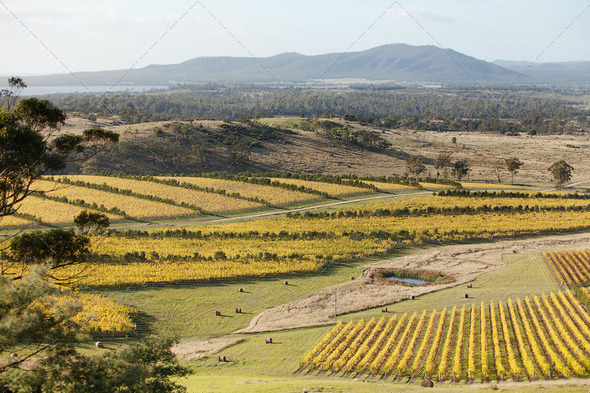 Oyster Bay Vineyards - Stock Photo - Images