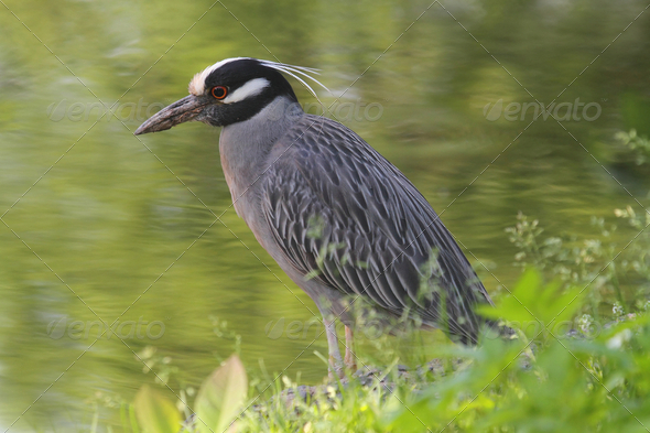 Yellow-crowned Night Heron - Stock Photo - Images