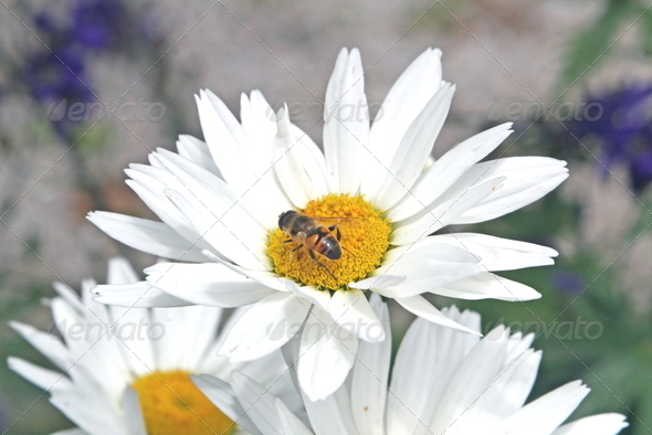 bee sucking nectar from a white daisy - Stock Photo - Images
