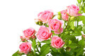 Group of pink roses with green leafes - PhotoDune Item for Sale