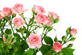Bush of pink roses with green leafes - PhotoDune Item for Sale