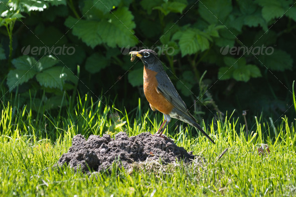 American Robin with Worm - Stock Photo - Images