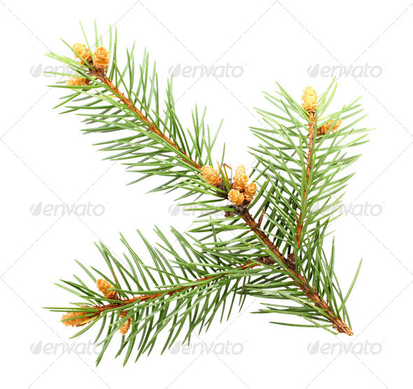 Single green branch of fur-tree - Stock Photo - Images