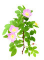 Dog-rose with green leafs and pink flowers - PhotoDune Item for Sale